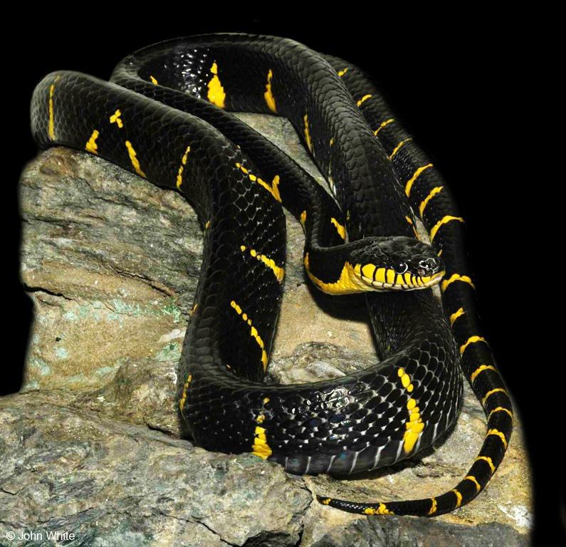 Ular Boiga merupakan ular yang berbisa menengah