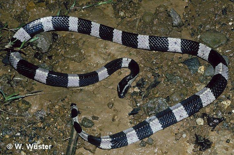 Ular belang (bungarus sp) merupakan ular yang berbisa tinggi